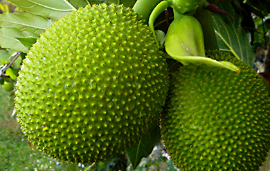 Image of the Breadfruit - grown in the Caribbean Islands.