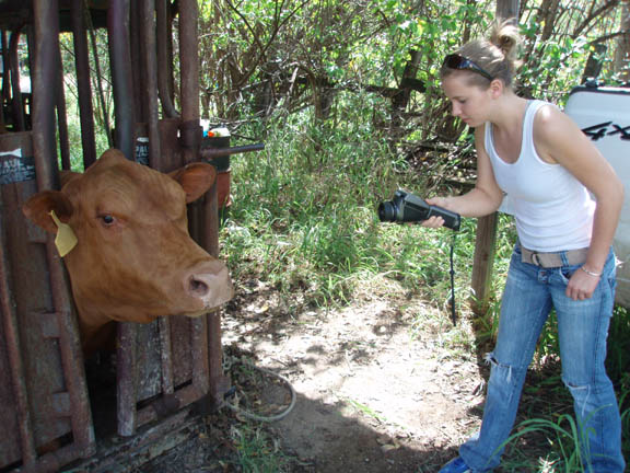 Student taking thermal image of cow muzzle