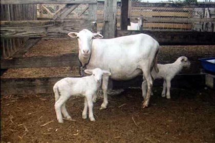 A St. Croix White ewe with twin lambs