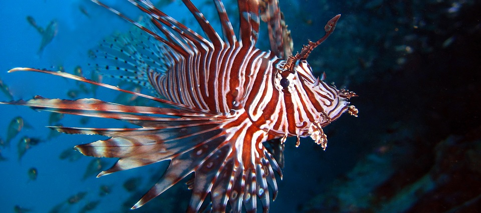 UVI Researchers Investigate the Risks of Lionfish Consumption