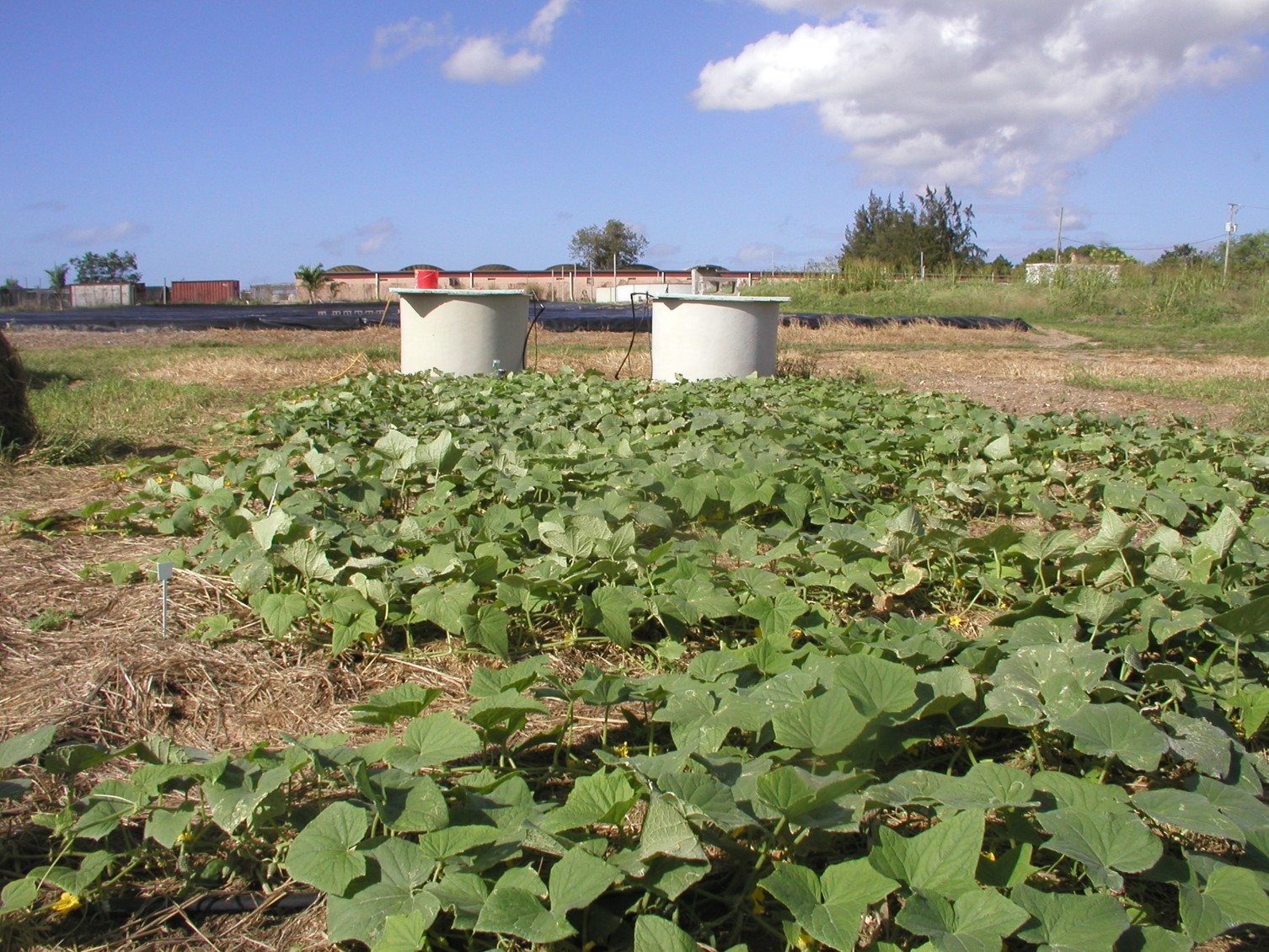 Cucumbers produced with biofloc solids incorporated into the soil