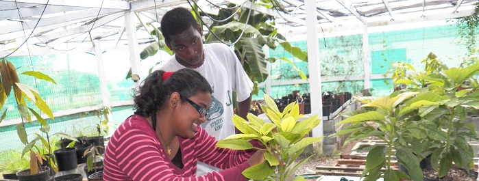 UVI Student Workers Graft Mango Trees