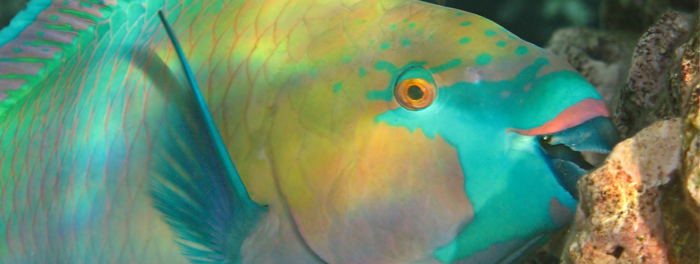 Parrotfish help keep coral free of algae.