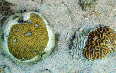 Two species of coral on Brewers Bay Beach